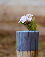 Mini Hortensia (Irene Carbonell) Tags: hortensias nature flores flower flowers naturaleza 50mm nikon