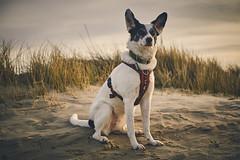 2/52 – all ears (stephubik) Tags: bubak 52weeksfordogs dog portrait wind dune