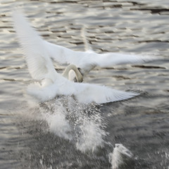 Territorial male mute swan 1 (Svein K. Bertheussen) Tags: muteswan swan svane knoppsvane cygnusolor fugl bird aggresjon aggression territorial territoriell sandnes rogaland norway norge nature natur wildlife dyreliv fugleliv water vann