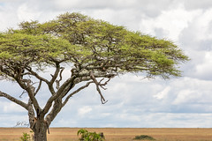 The Leopard In The Tree (Jill Clardy) Tags: africa tanzania vantagetravel safari serengeti national park acacia tree leopard gazelle dead kill hunt