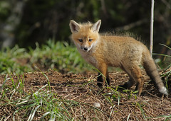Red Fox kit...#19 (Guy Lichter Photography - 4.7M views Thank you) Tags: canon 5d3 canada manitoba wildlife animal animals mammal mammals fox redfox kit