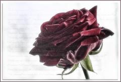 melancholy (ΞLLΞ∩) Tags: melancholy melancholie rose words thoughts loving memory love ellen
