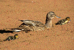 Duck family on the canal at Preston (Tony Worrall) Tags: canal wet water swim bird birds wild wildlife ducks duckling cute natyre natural preston lancs lancashire city welovethenorth nw northwest north update place location uk england visit area attraction open stream tour country item greatbritain britain english british gb capture buy stock sell sale outside outdoors caught photo shoot shot picture captured ilobsterit instragram photosofpreston ashtononribble ashton
