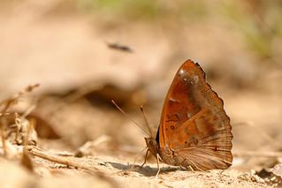 Rohana parisatis ssp. pseudosiamensis - Chiang Dao_20180205_1200_DSC_8246_DxO