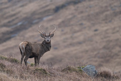 An encounter with the monarch (Twenty-21) Tags: red deer stag scotland glen etiv glencoe highlands wildlife nature sony a99ii tamron 150600 winter
