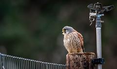 Dalek and the Kestrel. (Explored 11th January 2019 ) (pitkin9) Tags: bird kestrel post dalek