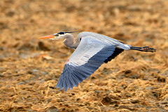 Great_Blue_Heron_01 (DonBantumPhotography.com) Tags: wildlife nature birds animals greatblueheron donbantumphotographycom donbantumcom