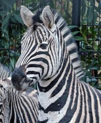 zebra Blijdorp 094A0363 (j.a.kok) Tags: zebra animal africa mammal zoogdier dier herbivore blijdorp