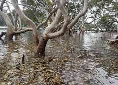 Oysters under the mangroves #marineexplorer (Marine Explorer) Tags: nature estuary marine australia marineexplorer