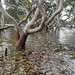 Oysters under the mangroves (Marine Explorer) Tags: nature estuary marine australia marineexplorer