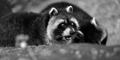Waschbär (Michael Döring - thx for 20.000.000 views) Tags: gelsenkirchen bismarck zoomerlebniswelt zoo waschbär racoon afs600mm40e d850 michaeldöring