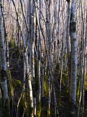 Hazel woodland (Corylus avellana), Glasdrum National Nature Reserve (Niall Corbet) Tags: scotland argyll glasdrum nationalnaturereserve nnr hazel woodland corylusavellana