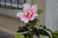 Pinky (Karla Lucas) Tags: nature flower