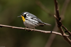 Yellow-throated Warbler (grobinette) Tags: yellowthroatedwarbler warbler neotropical leesylvaniastatepark explored