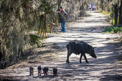 Strolling With Mom And The Kids (Robert F. Carter) Tags: cbbr circlebbarreserve florida pig piglets pigs wildpig wildpigs wildlife lakeland wetland wetlands marsh marshes swamp swamps