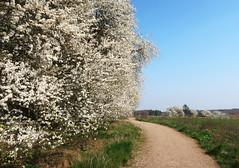 Spring has sprung! (Ingrid0804) Tags: spring mirabelle flowering path springhassprung