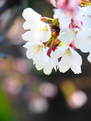 Cherry blossom in Spring day (klawass6085) Tags: cherryblossom flowers spring southkorea chuncheon beautifulflowers olympus omdem5markii mzuiko14150mmf456ii
