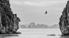 Ha Long Hawk (TheWildFireOne) Tags: landscape halong seashore rocks water flight bird seascape hawk seastack blackwhite halongbay