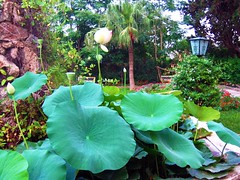 lotus (molovate) Tags: lotus tropicale tafme fiore giardino teatrodiverdura volate villacastelnuovo grandi foglie canon powershot a80 molovate flora