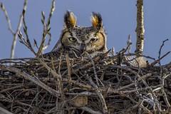 Keeping a watchful eye (teresayvonne) Tags: owl greathornedowl nest