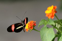 Heliconius melpomene (Nature Box) Tags: heliconiusmelpomene papillon butterfly macro nature france postman