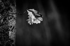 Memories Of Last Summer (wowafo) Tags: macro natur nature winter spring frühling leaf blatt baum tree wald forest blackwhite sony alpha 6000 memories erinnerungen summer sommer