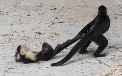 monkeying around (marianna armata) Tags: white face monkey play silly costa rica mariannaarmata