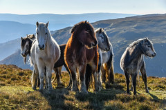 Mountain Ponies (Nikki M-F) Tags: wales uk mountains hills landscape ponies