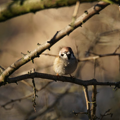 Da, ein Mensch! (binaryCoco) Tags: vogel bird sonne sunlight licht frühling light springtime tier animal natur nature feathers feders wings flügel sparrow spatz sperling