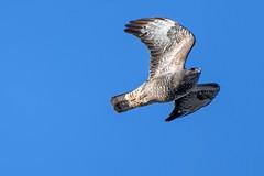 UK common buzzard (Happy snappy nature) Tags: ukcommonbuzzard raptor birdinflight bluesky birdofprey avian feathers wings wild wildlife outdoors shropshire sunnyday nikond500 nikon200500