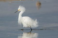 Showy (ChicagoBob46) Tags: snowyegret egret bird jndingdarlingnwr florida sanibel sanibelisland nature wildlife naturethroughthelens ngc coth5 npc
