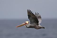 Brown Pelican (Alan Gutsell) Tags: brownpelican seabird coast beach california flying monterey usa birds wildlife nature photo canon alan