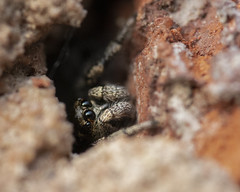 Jumping Spider not wanting to come out to play (Macro_World) Tags: jumping spider canon eos 70d 100mm f28l macro 250 raynox macroworldcouk arachnid tiny hole wall