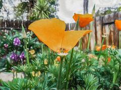 Down By Two (p) (davidseibold) Tags: america backyard bakersfield california californiapoppy fence garden jfflickr kerncounty nature photosbydavid plant platoct poppy postedonflickr postedonmewe sky unitedstates usa wildflower