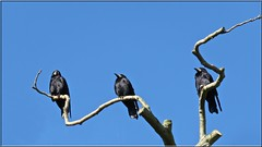 4160 v2 Rooky friends (Andy - An idle laddy) Tags: avian bare bird bluesky branch corvusfrugilegus leafless rook tree