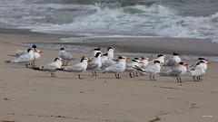 Royal Terns, Malibu Lagoon, CA CQ4A4024 (Hart Walter) Tags: malibulagoon legacypark royaltern brownpelican grayplover marbledgodwin