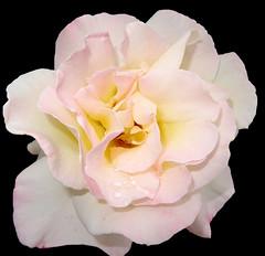 Rose on black (boeckli) Tags: flowers roses waterdrops 00429 hx9v flower flora fleur rosen rose blumen blume blüten blossom bloom blossoms blooms onblack blackbackground plants plant pflanzen pflanze