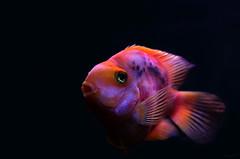 Aquarium #8 ⭐ (Franco Gavioli) Tags: 2016 fragavio francesco gavioli canonef50mmf18ii canoneos600d sicilia sicily siracusa syracuse fontearetusa pesce fish ortigia