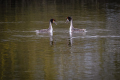Distant Grebes (David Brooker) Tags: pair great crested grebes male female river yare norfolk birds