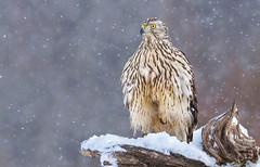 Snowing again... (_Diga_) Tags: vištvanagis accipiter gentilis northern goshawk accipitergentilis