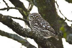 Little Owl (Terry Angus) Tags: owl littleowl norden rochdale uk