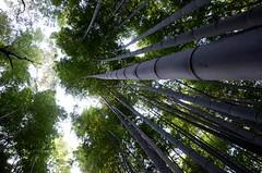 Arashiyama, Kyoto, Japan (Plan R) Tags: arashiyama bamboo tree sky kyoto nikon d7000