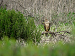 Northern Harrier and Coyote Bush (stonebird) Tags: northernharrier circushudsonius ballonawetlandsecologicalreserve areaa march coyotebush baccharispilularis img0084