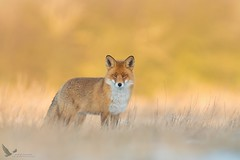 Lis, Fox (Vulpes vulpes) ... (Rafal Szozda) Tags: redfox animals nature wildlife colors meadow winter raptor nikon nikkor lens lubuskie poland