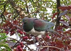 New Zealand Pigeon (tedell) Tags: new zealand pigeon stanley park akaroa christchurch city county canterbury nz december 2018 bird