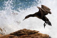 Cormoran du Cap - Cape of Goop Hope/Western Cape/South Africa_20181122_029-1 (Patrick Monney) Tags: cormoranducap phalacrocoraxcapensis capecormorant kapscharbe cormorándeelcabo капскийбаклан phalacrocoracidés phalacrocacidae bird oiseau faunesauvage wildlife birdsofsouthafrica oiseauxdafriquedusud afriquedusud southafrica westerncape capoccidental capepoint capeofgoodhope capdebonneespérance