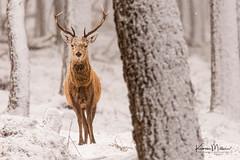 Red Deer Stags (Karen Miller Photography) Tags: alvieestate animal behaviour deer forest nature reddeer snow winter wood