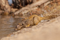 Rock Squirrel Drinking (gilamonster8) Tags: rocksquirrel natuesbest lakesidepark canon flickr tucson urban wildlife eosef400mmf56lusm ngc naturetop sky arizona eos 7dmarkii ground animal