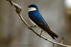 Tree_Swallow_02 (DonBantumPhotography.com) Tags: wildlife nature birds animals treeswallow donbantumphotographycom donbantumcom