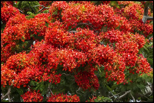 Poinciana blooms for December-3=